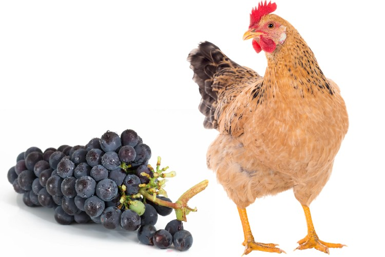 chickens and grapes