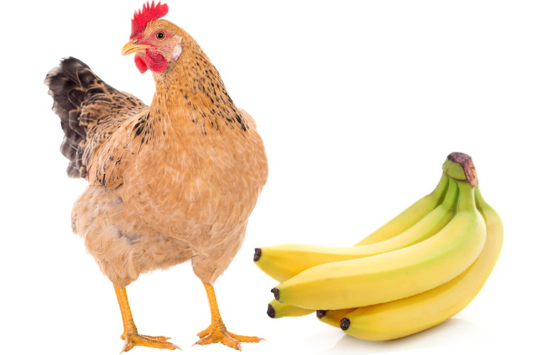 chickens can eat bananas