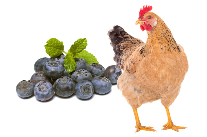 Can Chickens Eat Blueberries