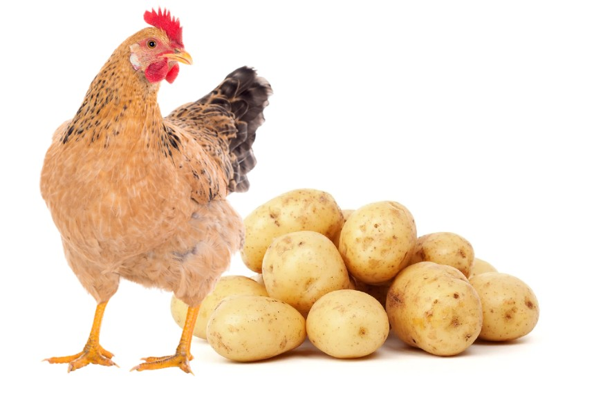 Can Chickens Eat Potatoes - sweet and raw or cooked