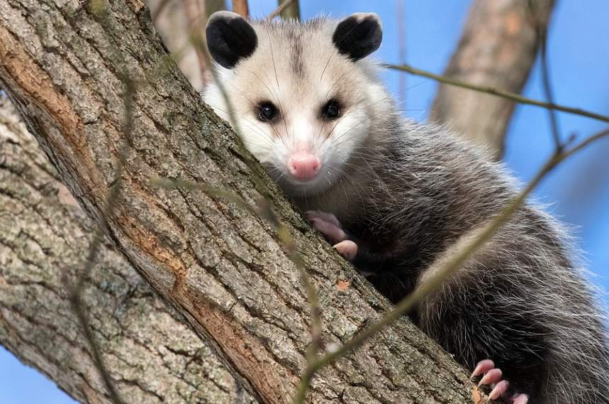 Do Possums Eat Chickens and how to protect them