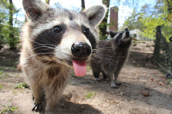 Do Raccoons Eat Chickens