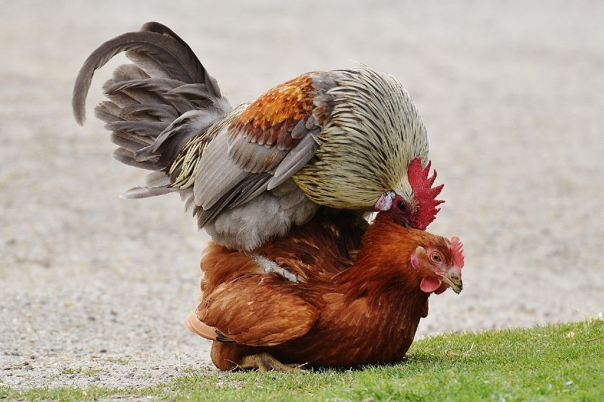 How Do Chickens Mate and reproduce