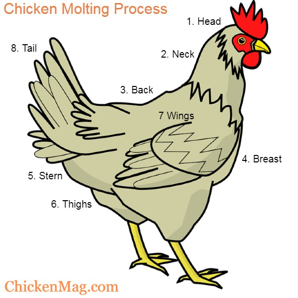 Chicken molting  and losing feathers