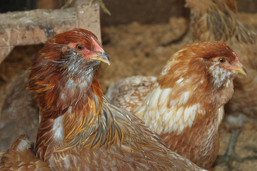 What is Pullet Chicken and what is hen and What is Poultry