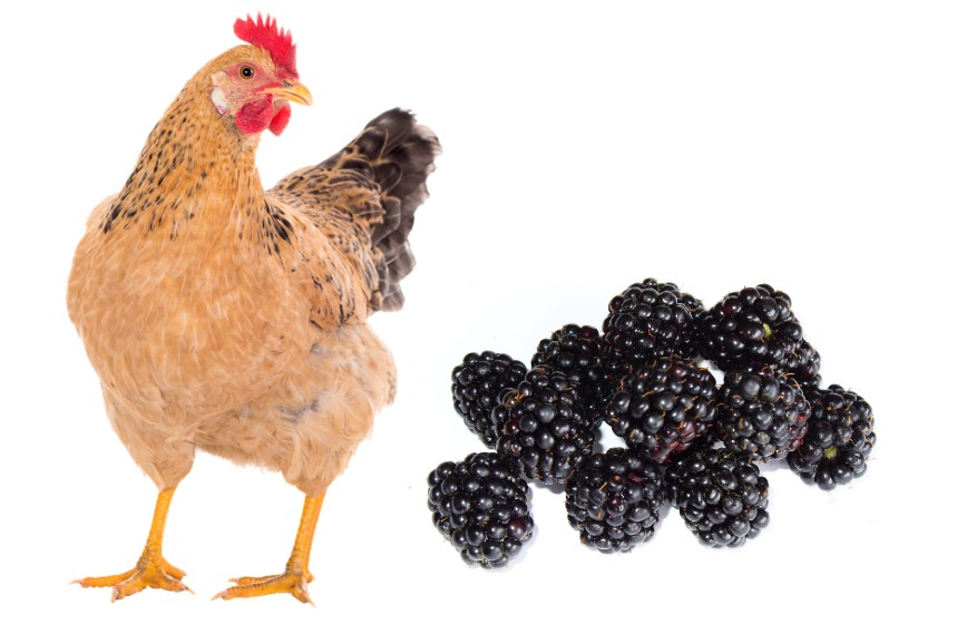 can chickens eat Blackberries