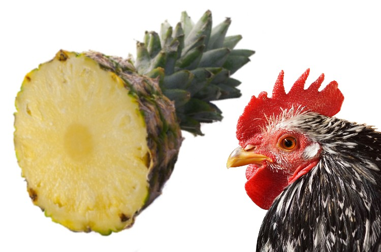 can chickens eat Pineapple