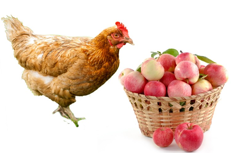 can chickens eat apples