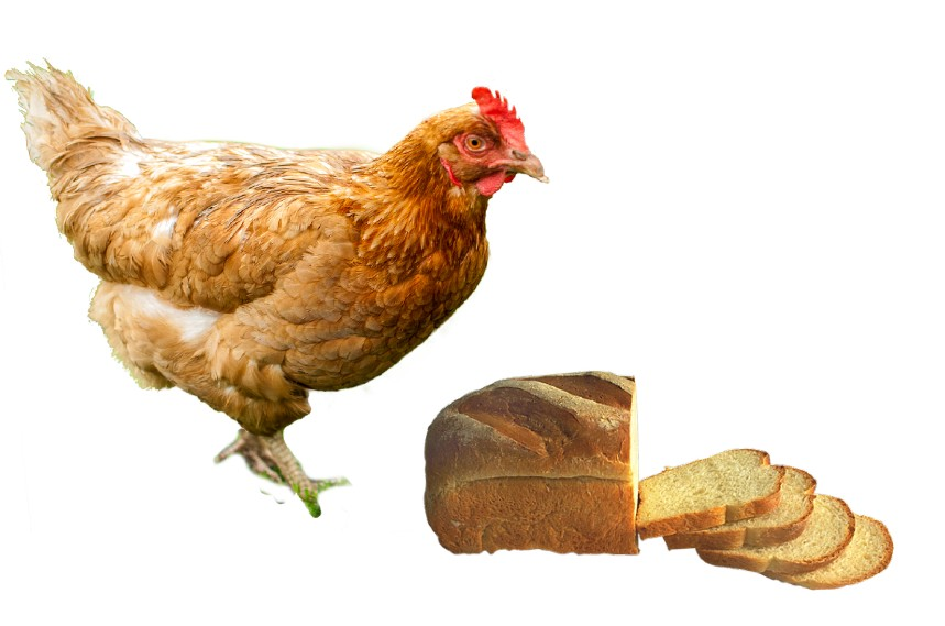 can chickens eat bread