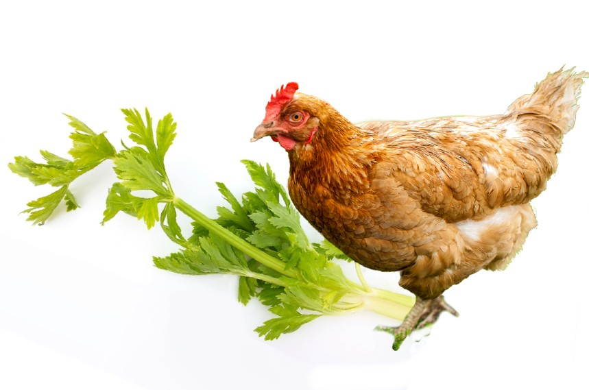 can chickens eat celery
