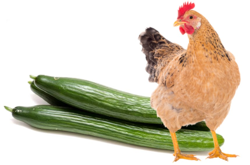 can chickens eat cucumber