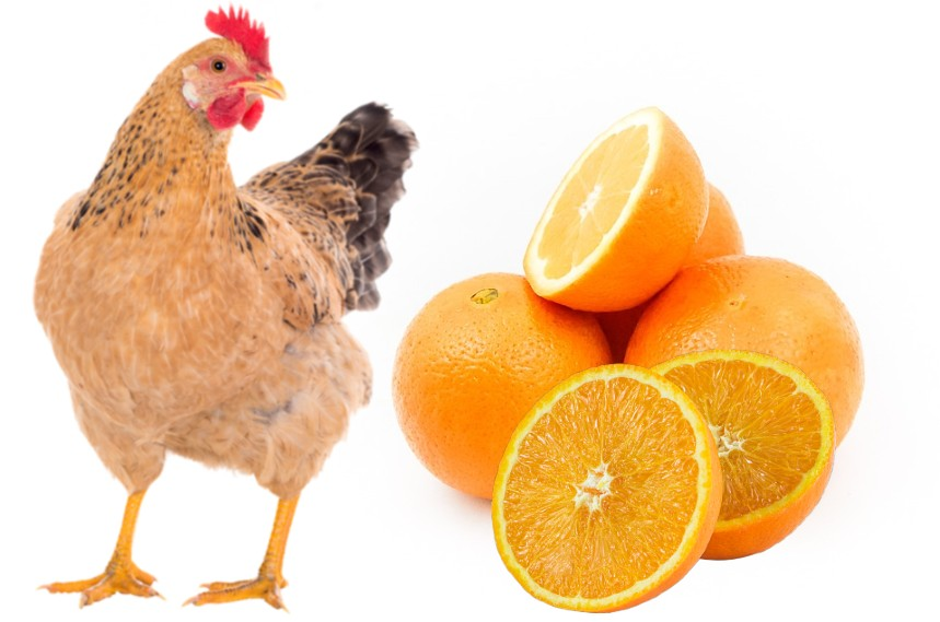 can chickens eat oranges