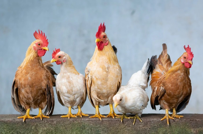 how much space and room do chickens need