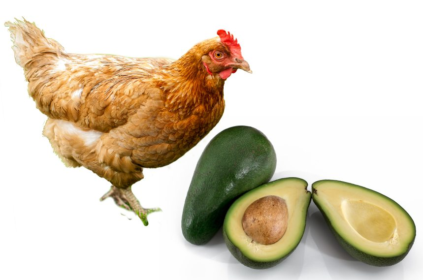 Can-Chickens-Eat-Avocado