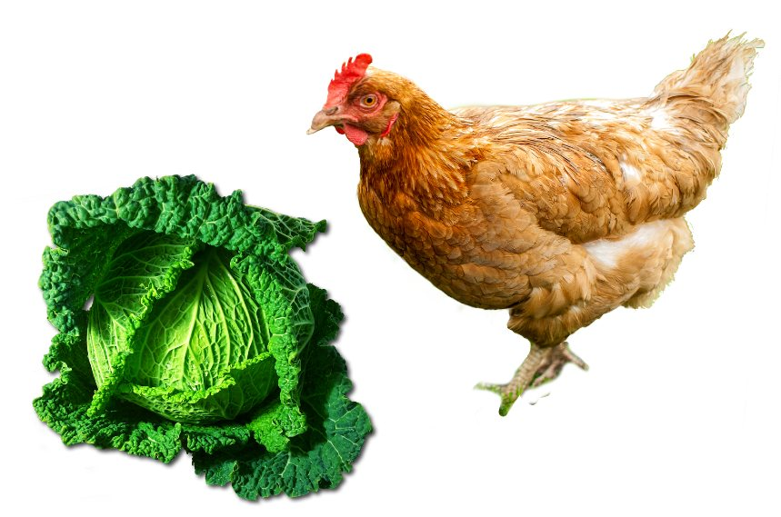 Can Chickens Eat Cabbage?