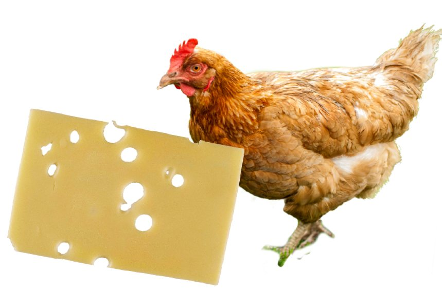 Can Chickens Eat Cheese