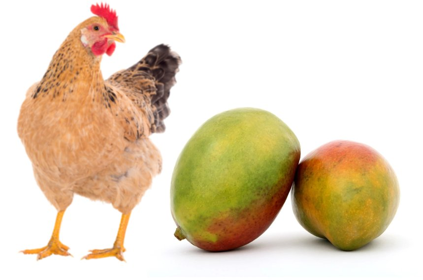 Can Chickens Eat Mango?