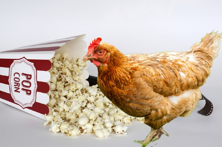Can Chickens Eat Popcorn