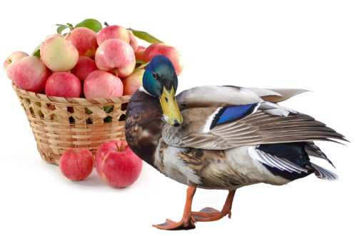 can ducks eat apples