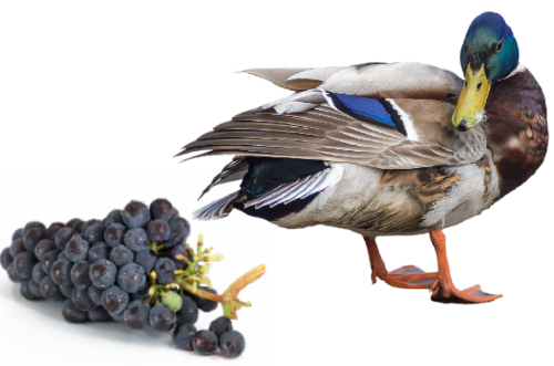 can ducks eat grapes