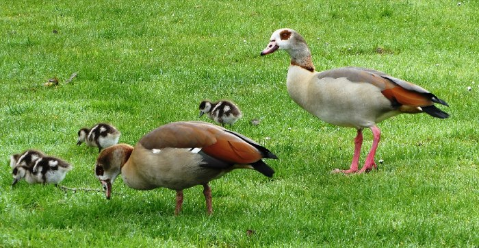 Egyptian geese and goslings