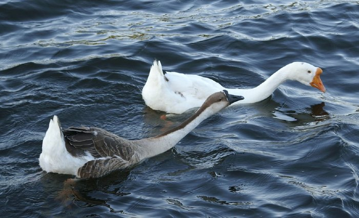 Brown and White Chinese Geese