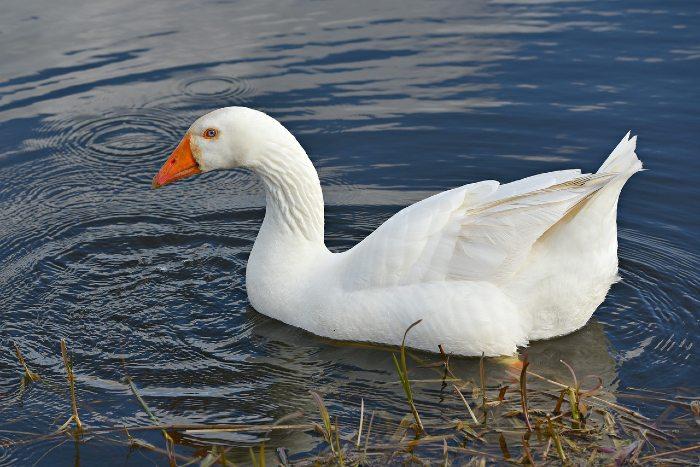 white Embden goose