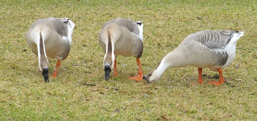 what can geese eat