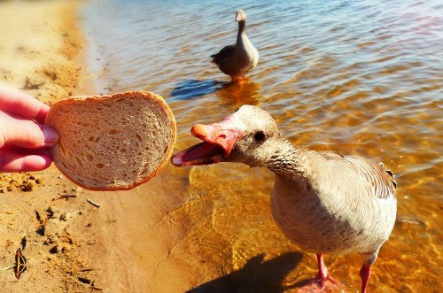 what do geese eat - geese diet
