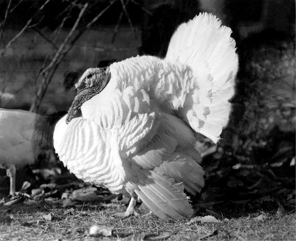 Broad Breasted White Turkey Facts eggs and origin