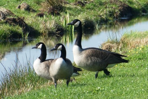 Do Canadian  Geese Eat Fish?
