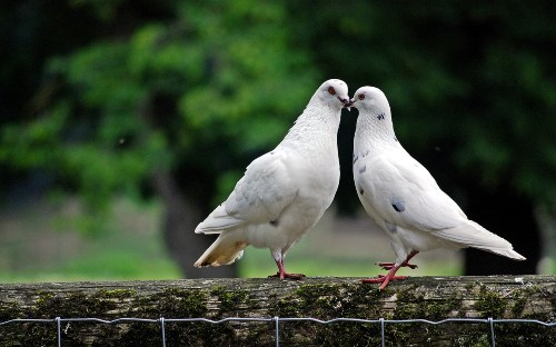 pigeon coo, sounds and noises