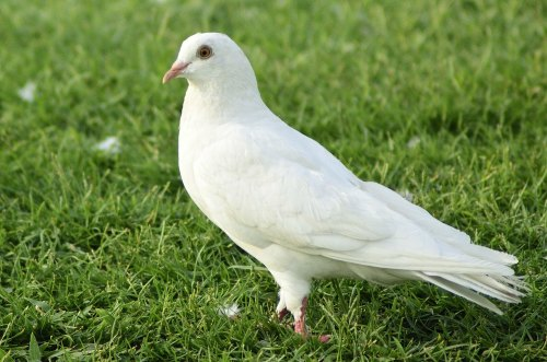 pigeon sounds and noises, coo