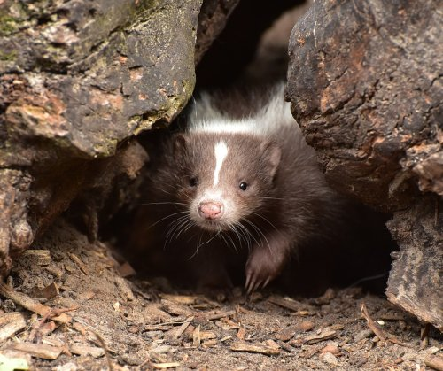 Do Skunks Kill or Eat Chickens and Their Eggs?