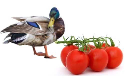 can ducks eat tomatoes