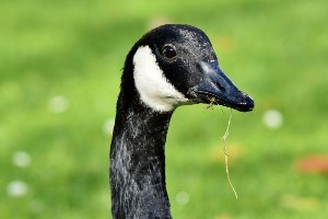 domestic geese breeds