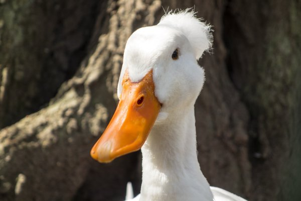 White Crested Duck With Afro