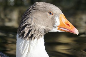 Breeds of Geese
