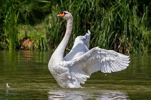 can swans fly