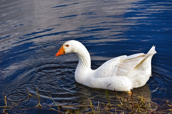 goose vs swan differences