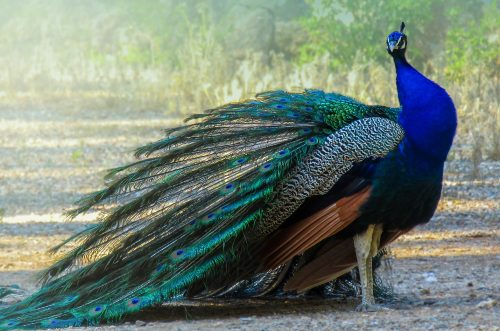 do peacock fly and peacocks flaying facts