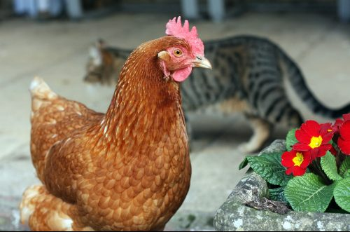 do cats eat chickens, do cats attack chickens