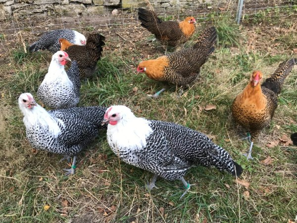 gold and silver deathlayer hens