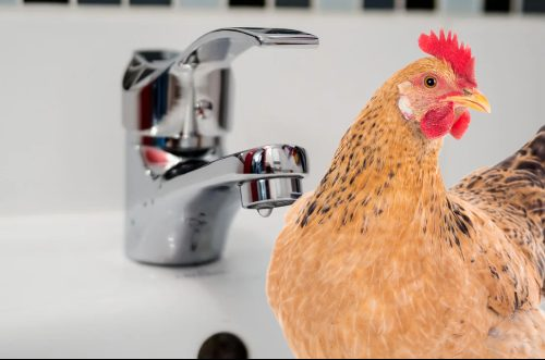 how to bath a chicken