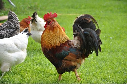 aggressive rooster behavior