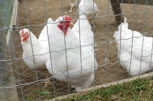 Chantecler Chicken - cold hardy chicken breed