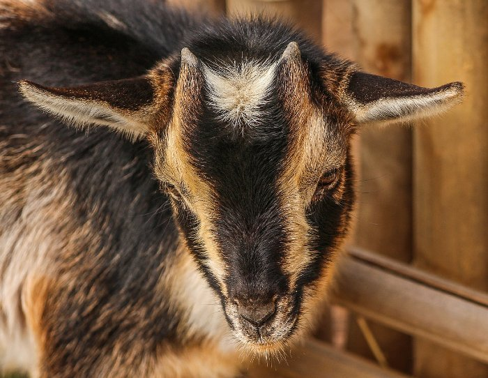 Nigerian Dwarf Goat For Sale and Breeders in US