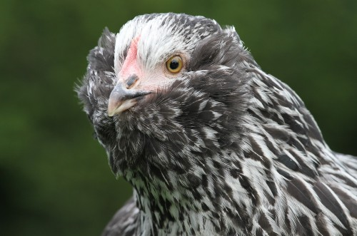 the most aggressive chicken breeds