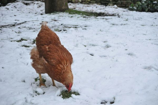 How to Make Chickens Lay Eggs in Winter