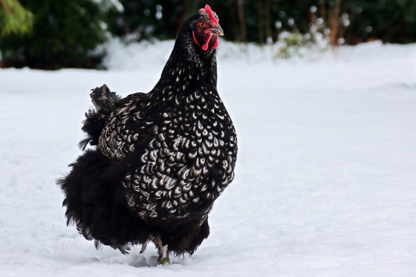 Why Do Chickens Stop Lay Eggs in the Winter?